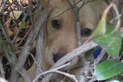 choosing a puppy, Golden Retriever puppy hiding in bushes