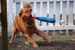 training puppies, Golden Retriever playing baseball