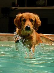 dog fleas, Golden Retriever swimming