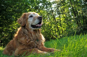 loss of a pet, Older Golden Retriever