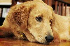 dog bath; face picture of Golden Retriever laying down