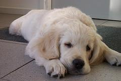 choosing a puppy, Golden Retriever puppy sleeping
