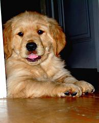 how to pick a puppy, chubby Golden Retriever puppy