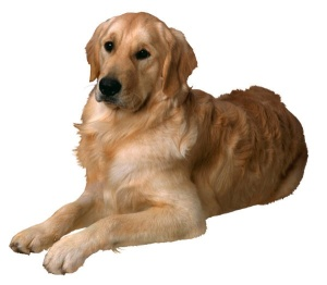 beautiful male Golden Retriever