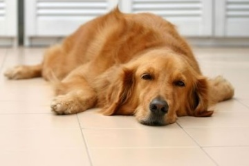 Golden Retriever laying on kitchen floor
