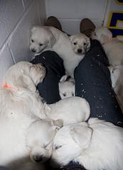 whelping puppies, large litter of English cream Golden Retrievers