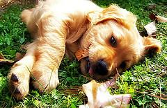 puppy vaccinations, Golden Retriever puppy laying in grass