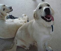 Dog Pregnancy, Two beautiful Golden Retrievers smiling