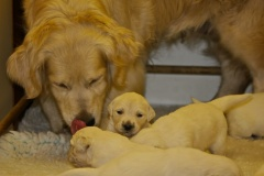 puppy worms, Golden Retriever momma checking on pups