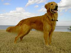 Beautiful Golden Retriever that is not overweight
