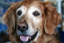 senior Golden Retriever smiling