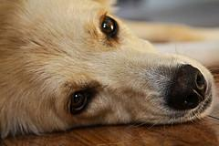 face shot of Golden Retriever