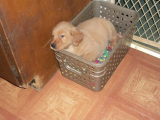 Golden Retriever Puppy in Basket