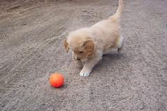 teach dog to fetch, young Golden Retriever pupppy chasing a ball