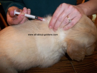 puppy shots, Golden Retriever puppy getting a shot