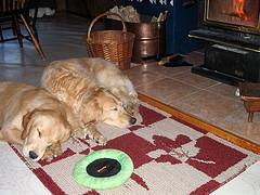 dog bath; 2 Golden Retrievers taking a nap