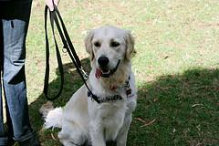 Golden Retriever sitting while on a leash