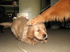 choosing a healthy puppy, Golden Retriever puppy being slapped down by adult Golden