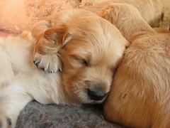 Dog Mating, sleeping Golden Retriever pups