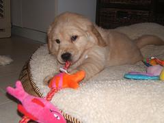 puppy chewing, Golden Retriever puppy chewing on his toys