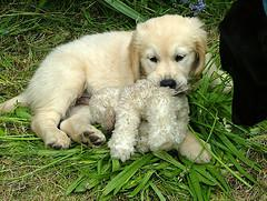 puppy teething, young Golden Retriever chewing on soft toy