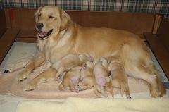 puppy vaccinations, Golden Retriever nursing her puppies