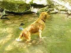 Golden Retriever playing in water