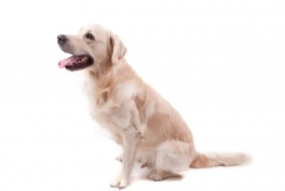 Tapeworm treatment, Golden Retriever scooting his rear