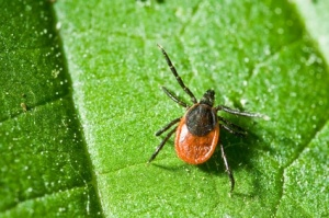 what do ticks look like, photo of a tick on a leaf