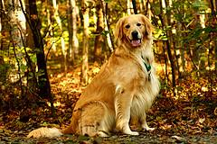 teaching sit, adult Golden Retriever sitting