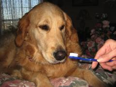 Golden Retriever getting his teeth brushed