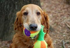 teach dog to fetch, Golden Retriever holding a toy