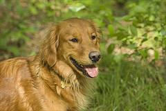 Canine Pregnancy, Golden Retriever smiling on background of green leaves