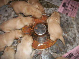 weaning Golden Retriever puppies