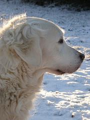 breeding dogs, white Golden Retriever in the snow