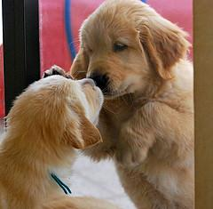 choosing a healthy puppy, 2 Golden puppies kissing through a window