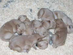 puppy growth and development, 7 newborn puppies