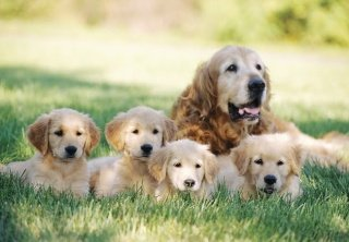 mastitis in dogs, Golden Retriever with her puppies
