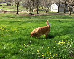 Golden Retriever Pet Memorial, Golden Retriever playing in field.