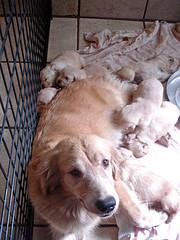 whelping puppies, Golden Retriever with her puppies