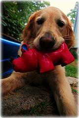 puppy teething, Golden Retriever with a toy in her mouth