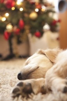 Golden Retriever puppy sleeping by Christmas tree