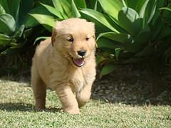 training puppies, Golden Retriever puppy running