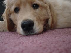 puppy biting, sad looking Golden Retriever puppy