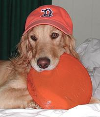 training puppies, Golden Retriever wearing baseball hat