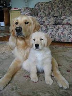 adult and young Golden Retriever posing for camera together