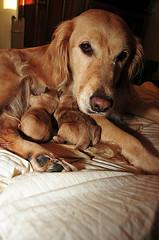 whelping suppies, Golden Retriever caring for her puppies