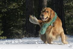Mating Dogs, beautiful Golden Retriever playing in snow