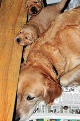 whelping supplies, Golden Retriever and her 2 week old puppies