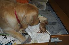 whelping puppies, Golden Retriever with new puppy